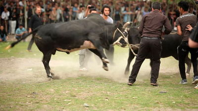 Docufiction spotlights Iranian traditional bull contest